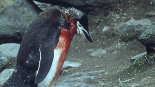 Heartbreaking! Ultimate Penguin Sacrifice | Life in the Freezer | BBC width=