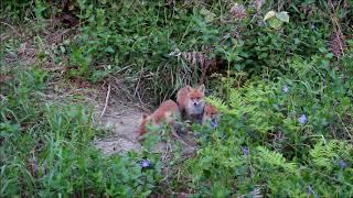 Hello! Dear  Foxes!
