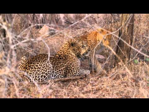 Beautiful Leopards Loving Too Close