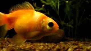 Cute fat fish