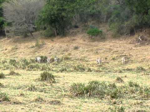 South Africa Safari – Synchronized Zebra Tail Swishing
