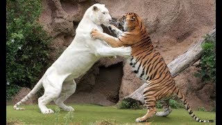 Tiger attack tiger - Animal fights - Rare white tiger vs tiger Easy fight