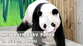 New Born Baby Panda In Chimelong Safari Park In Guangzhou | iPanda