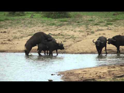 Big Five Kruger 720p