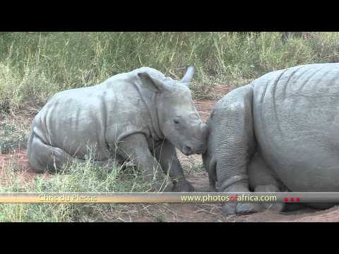 Rhino with calf HD – South Africa Travel Channel 24 – Wildlife