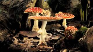 Fly Agaric toadstool growing time-lapse