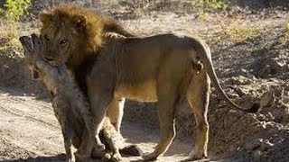 Brutal fight! Watch how lion crush hyena will shock you!