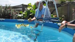 Patinhos a nadar pela primeira vez