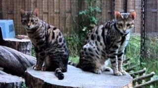 Savannah Cat F2  Servaldi - Hodowla egzotycznych kotów. Waldemar Kocoń, Poland