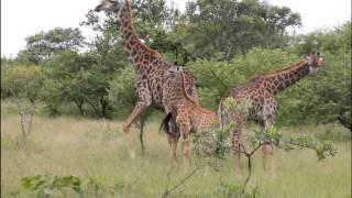 Grand Tour STB África - Girafas
