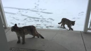 Three Mountain lions walk up to our front door.