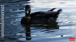 Duck quack quack. 4k UHD 2160p