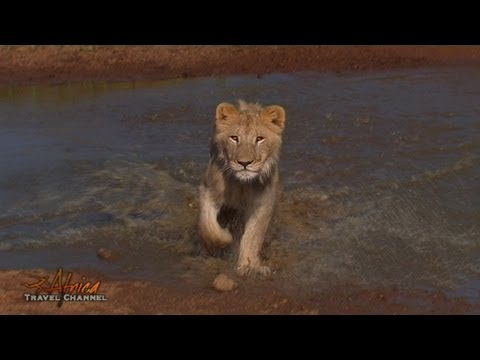Walking with Lions at Ukutula Lion Park in South Africa – Africa Travel Channel