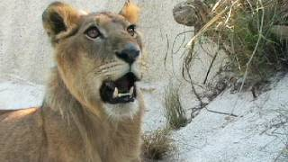 Lion vs Black Mamba 01, deadly venomous snake encounter with lion width=