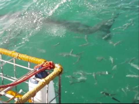 South Africa: White Shark Projects