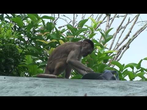 Monkey plays with hat