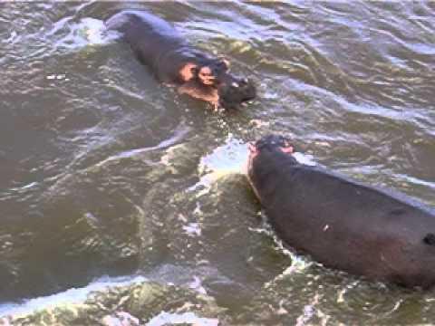 Lucha de hipopotamos en Parque Kruger