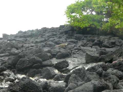 P1160737 Marine iguanas