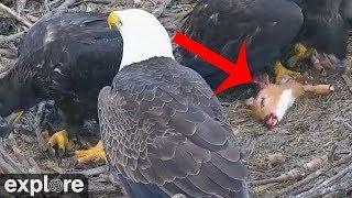 Bald Eagle Chicks Devour Baby Deer - warning: graphic