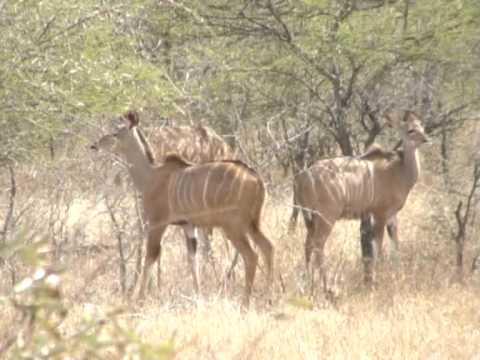 "Antylopa ""Kudu'  w Parku Krugera"