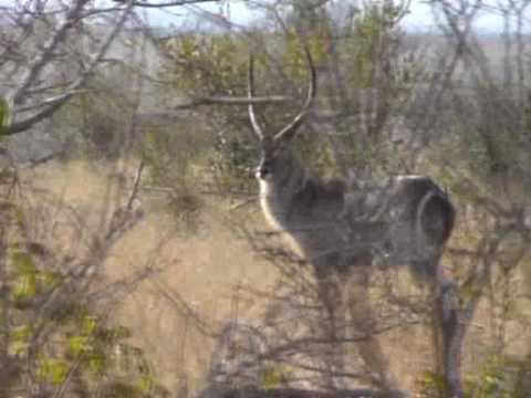 Antylopa Waterbuck w Parku Krugera