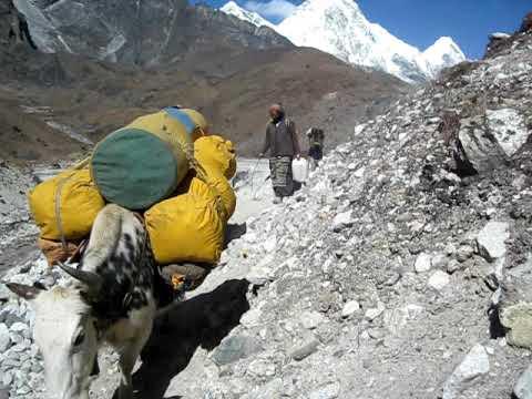 Gepäck Transport mit Yaks