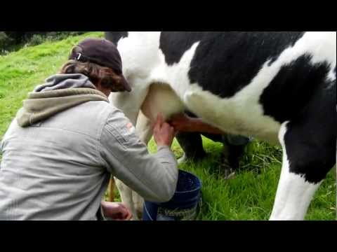 Lucas milking the cow
