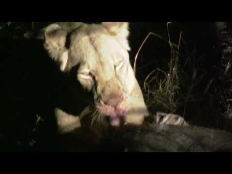 GSC 0352 – Lion Kill – made it there just in time – Shawn & Silmiya Hendricks