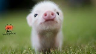 Pig cub loves to being pet