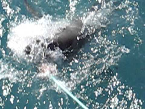 Great White Shark Cage Diving, Gansbaai, South Africa
