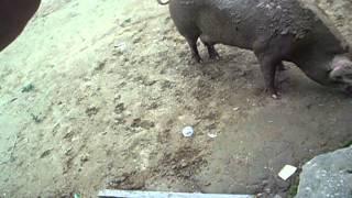 Thiagothcr - Porca comendo II