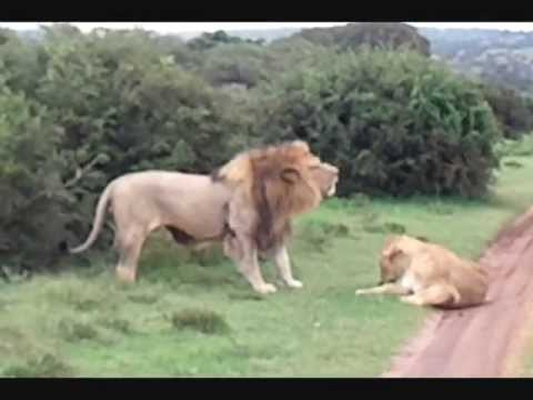 Lions mating in Africa (Schotia Safaris)