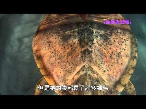 《昆蟲捉迷藏》昆蟲界的好好先生【父兼母職:負子蟲】 - YouTube