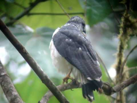 Gray Backed Hawk  Tumbesian endemics seen in our Tumbesiam an ecuador endemics trip  Febrary 2010