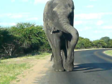 Angry elephant chasing my car in Kruger National Park
