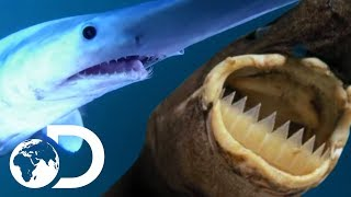 5 Most Unusual Shark Species! | SHARK WEEK 2018