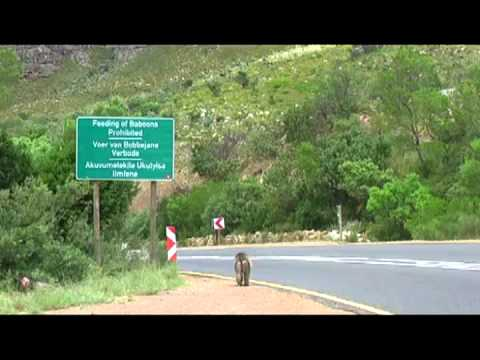 baboons on the road.mp4