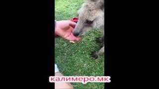 КАЛИМЕРО: Кенгури во Австралија јадат македонски смоки