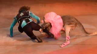 Circus. Kangaroo attacked the guy. Smile. Цирк. Кенгуру напал на парня. Улыбнитесь.