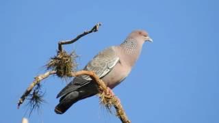 O canto da Asa-branca, Pombão, Patagioenas picazuro, Picazuro Pigeon,