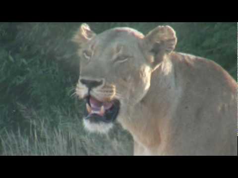 Lion cubs – Wilderness Dawning Safari