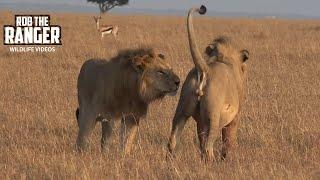 Two Bila-Shaka Lions Reunite | Maasai Mara Sighting