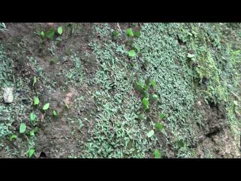 Leafcutter Ants Ecuador