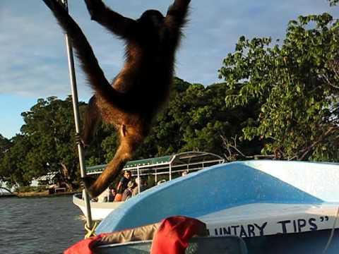 Monkey from Monkey Island jumps onto our boat – Grendada, Nicaragua