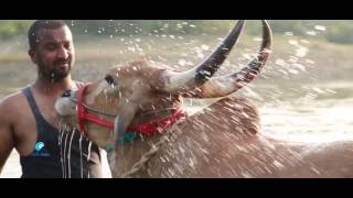 Save jallikattu bulls from slaughter...., width=