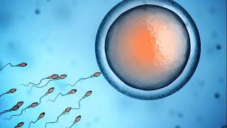 Human Physiology - Fertilization and Implantation width=