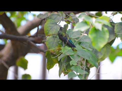 Tropical Baby Hummingbird – Video Nikon D7000