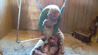 shearing California red sheep in unity Oregon