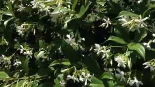Gorgeous star jasmine in Sydney spring - Aromatherapy