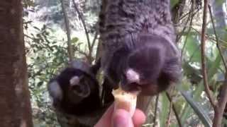 Como o macaco gosta de banana